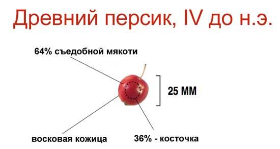 Плоды селекции или о том, как фрукты и овощи выглядели до знакомства с человеком [фото] - древний персик