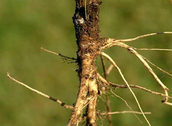Плоды селекции или о том, как фрукты и овощи выглядели до знакомства с человеком [фото] - древняя морковка