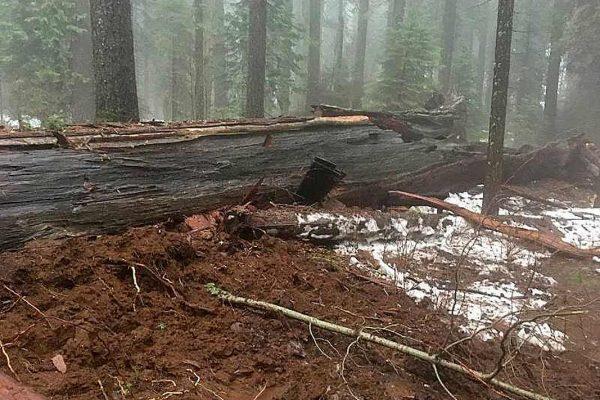 Pioneer Cabin Tree — знаменитую секвойю-арку «убила погода» [фото] — #PioneerCabinTree