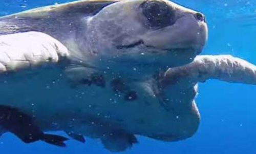 Светодиоды могут спасти от вымирания редких морских черепах [видео]