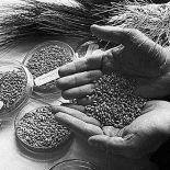 Французы обратились в институт Вавилова за семенами исчезнувших французских овощей и фруктов