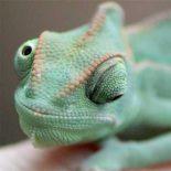 Двойное зрение хамелеона протестили на видеоиграх [видео]