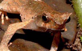 Неизвестную ранее науке лягушку ученые назвали эльфом